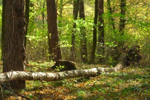 las dołhobyczowski