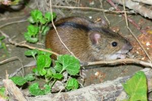 leśna mysz